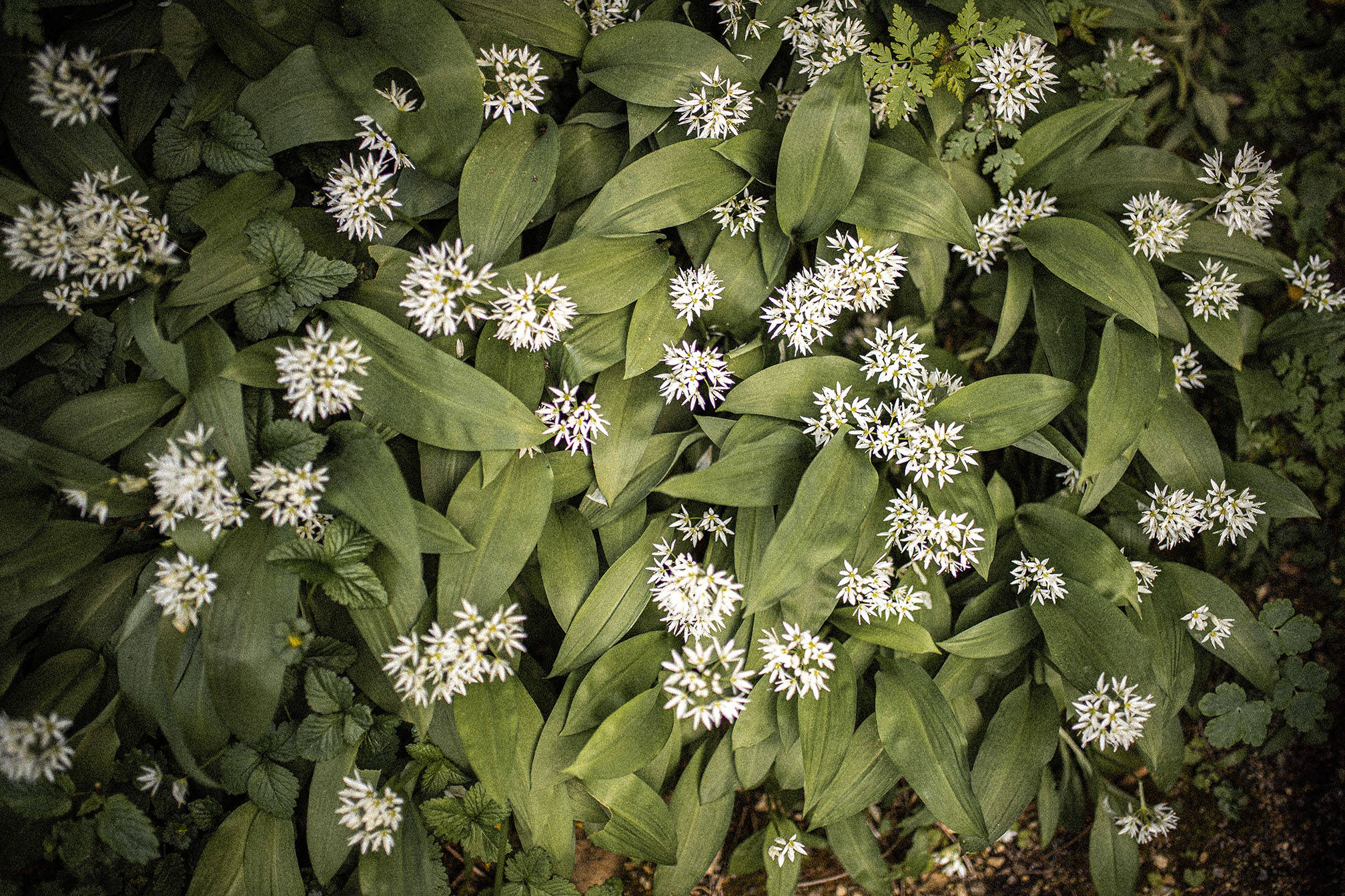 Wild Garlic carpets in Monmouthshire